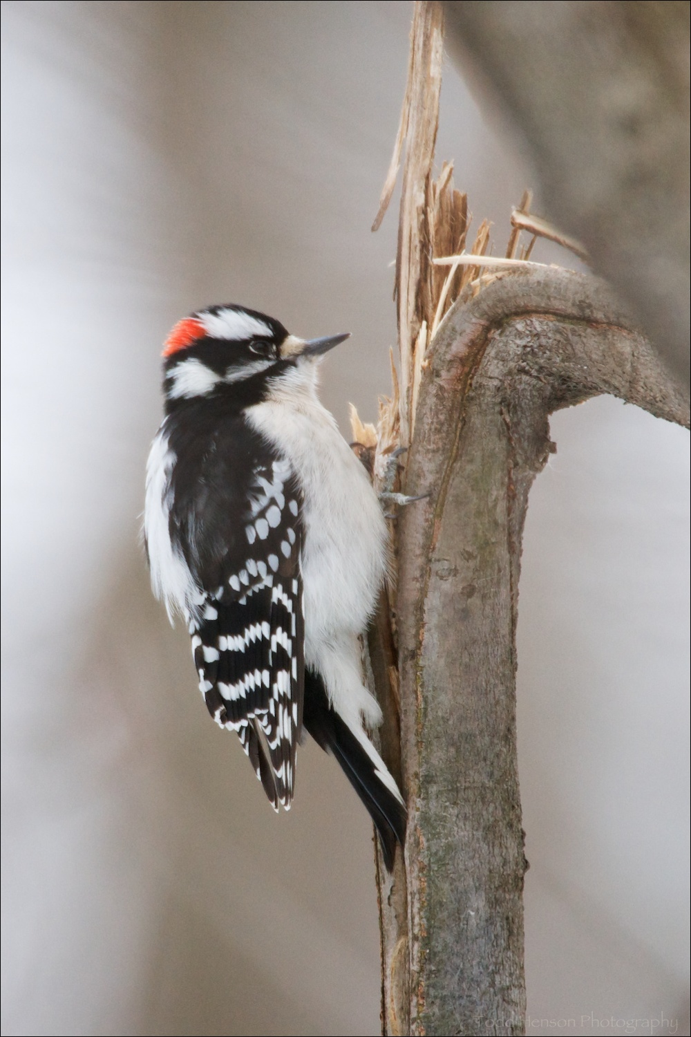 Male Downy Woodpecker taking advantage of a cracked tree