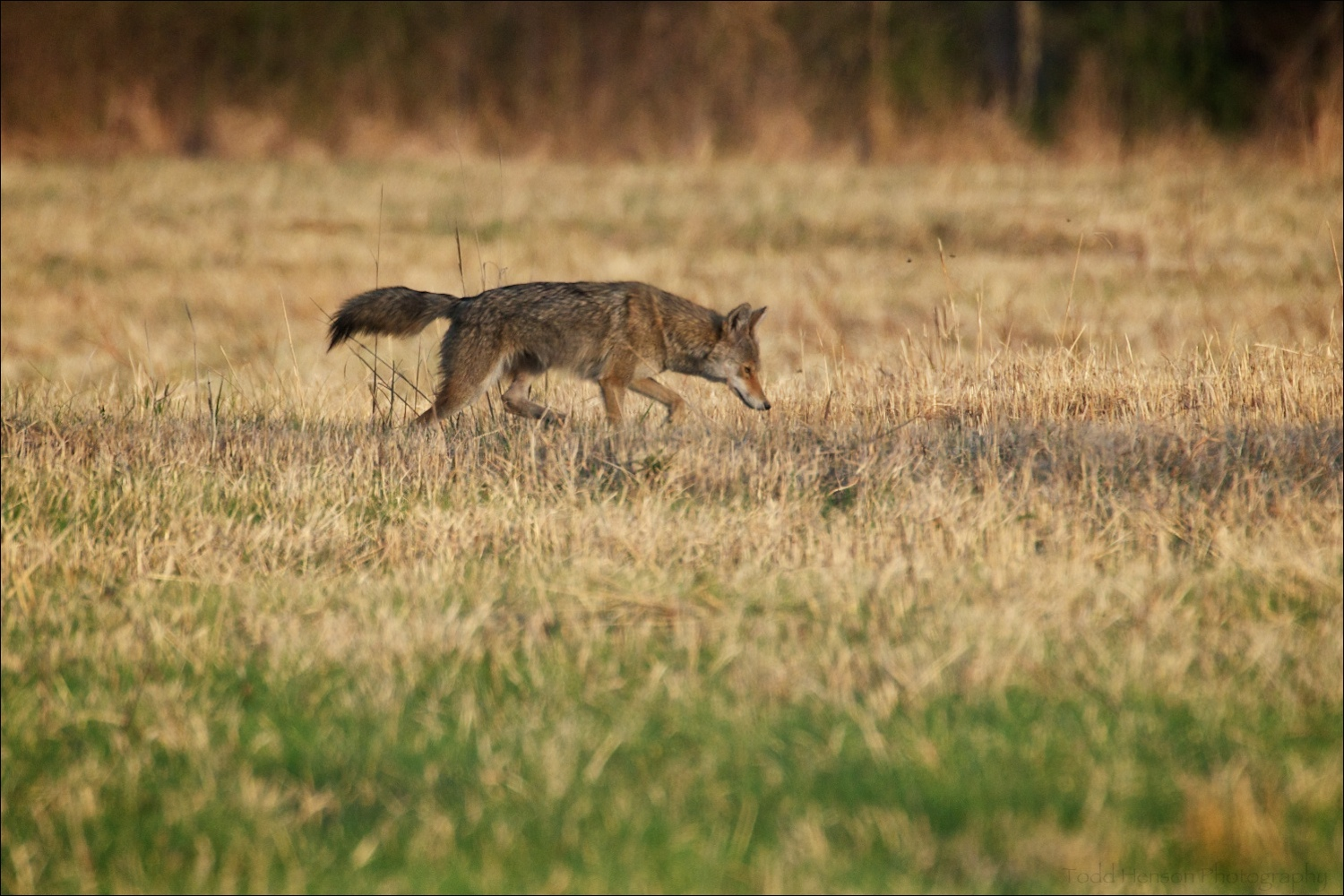 Coyote limping through field