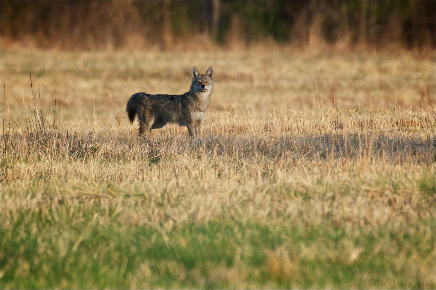 Coyote watching me as I photograph it