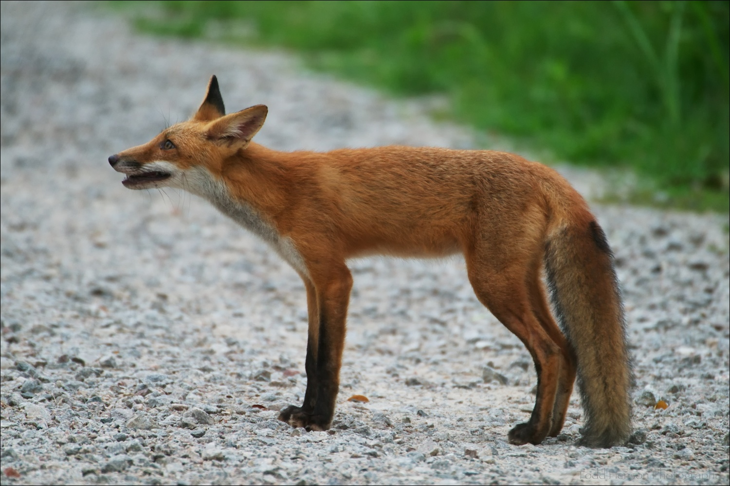Young red fox pausing on trail perhaps 10-15 feet away