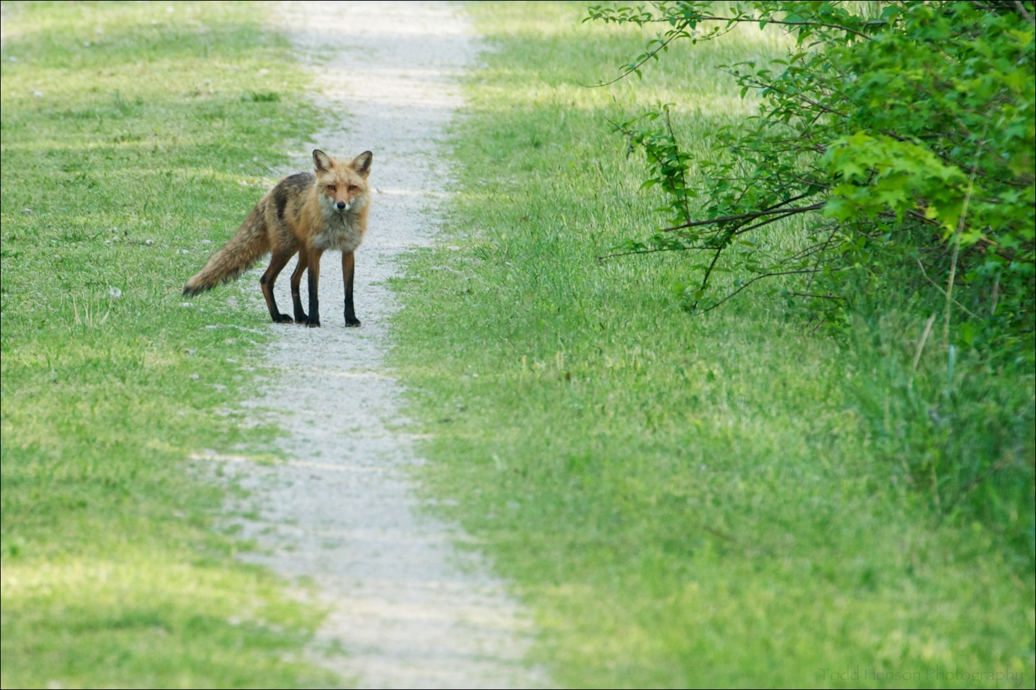 Adult red fox pausing to watch me, then heading back towards the den