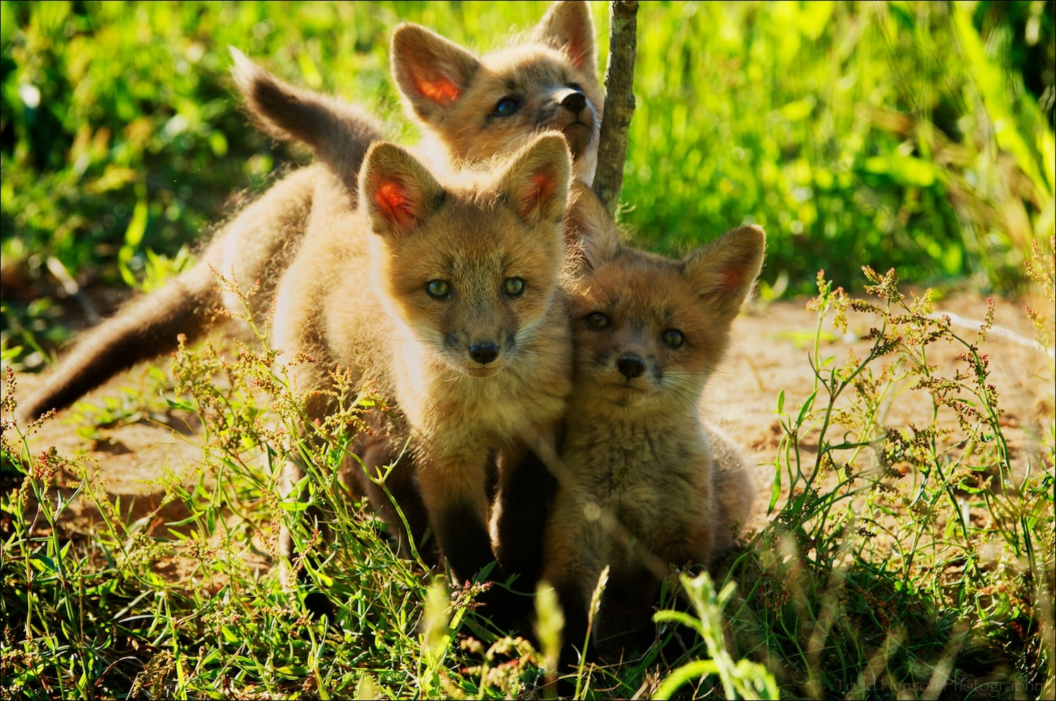 Red fox kit playing and watching in harsh late afternoon light