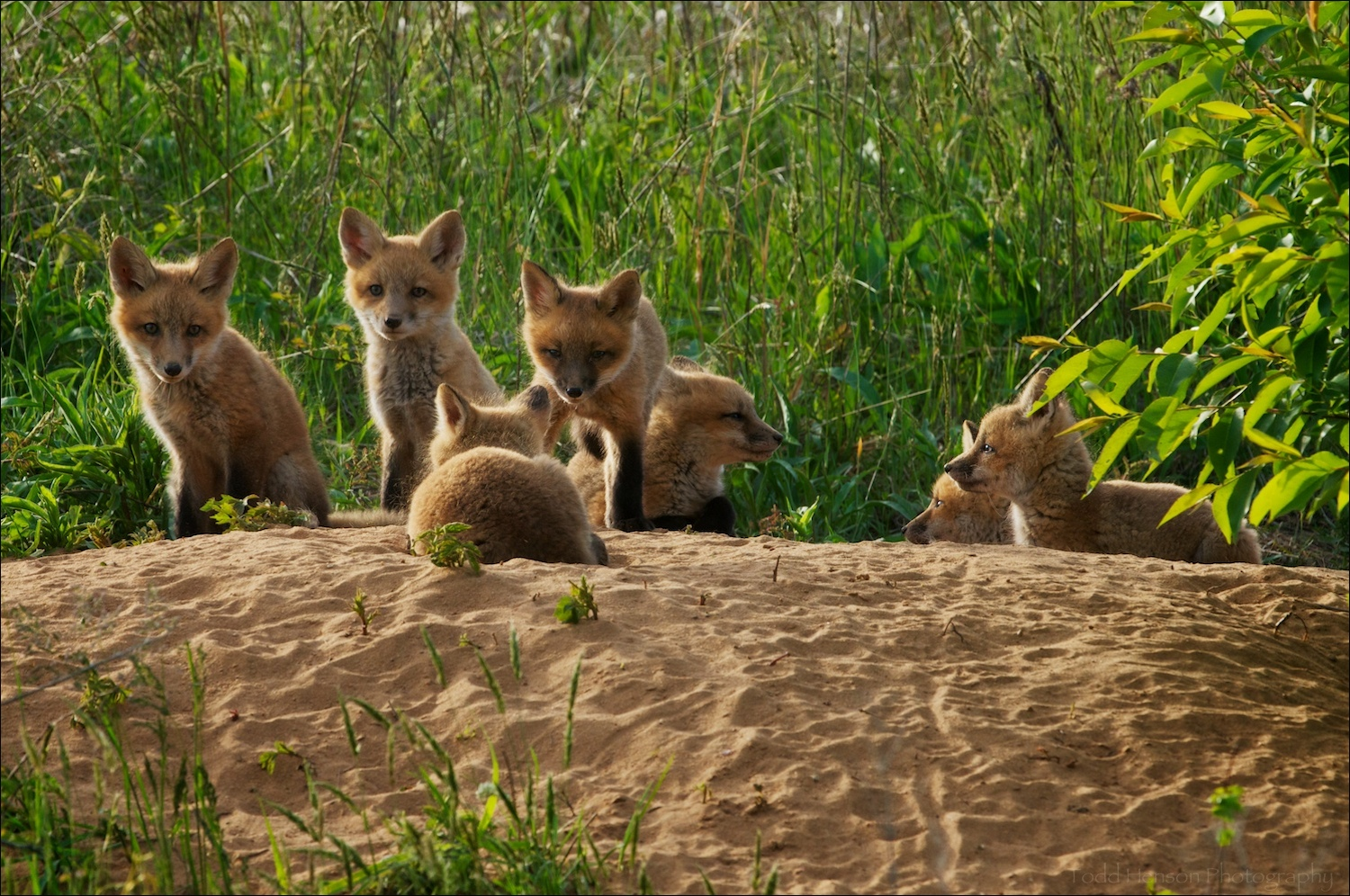 Seven red fox kit resting at the den late afternoon