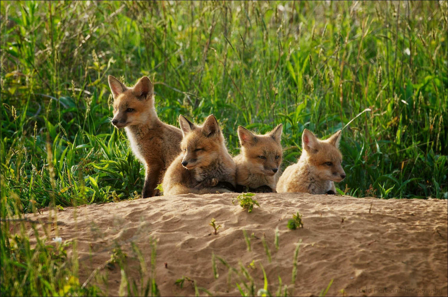 Four red fox kit resting late afternoon