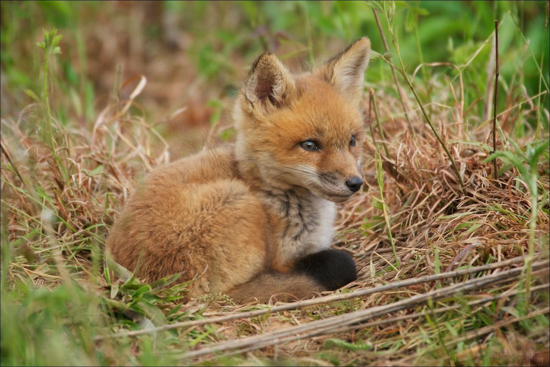 Red fox kit resting in soft morning light