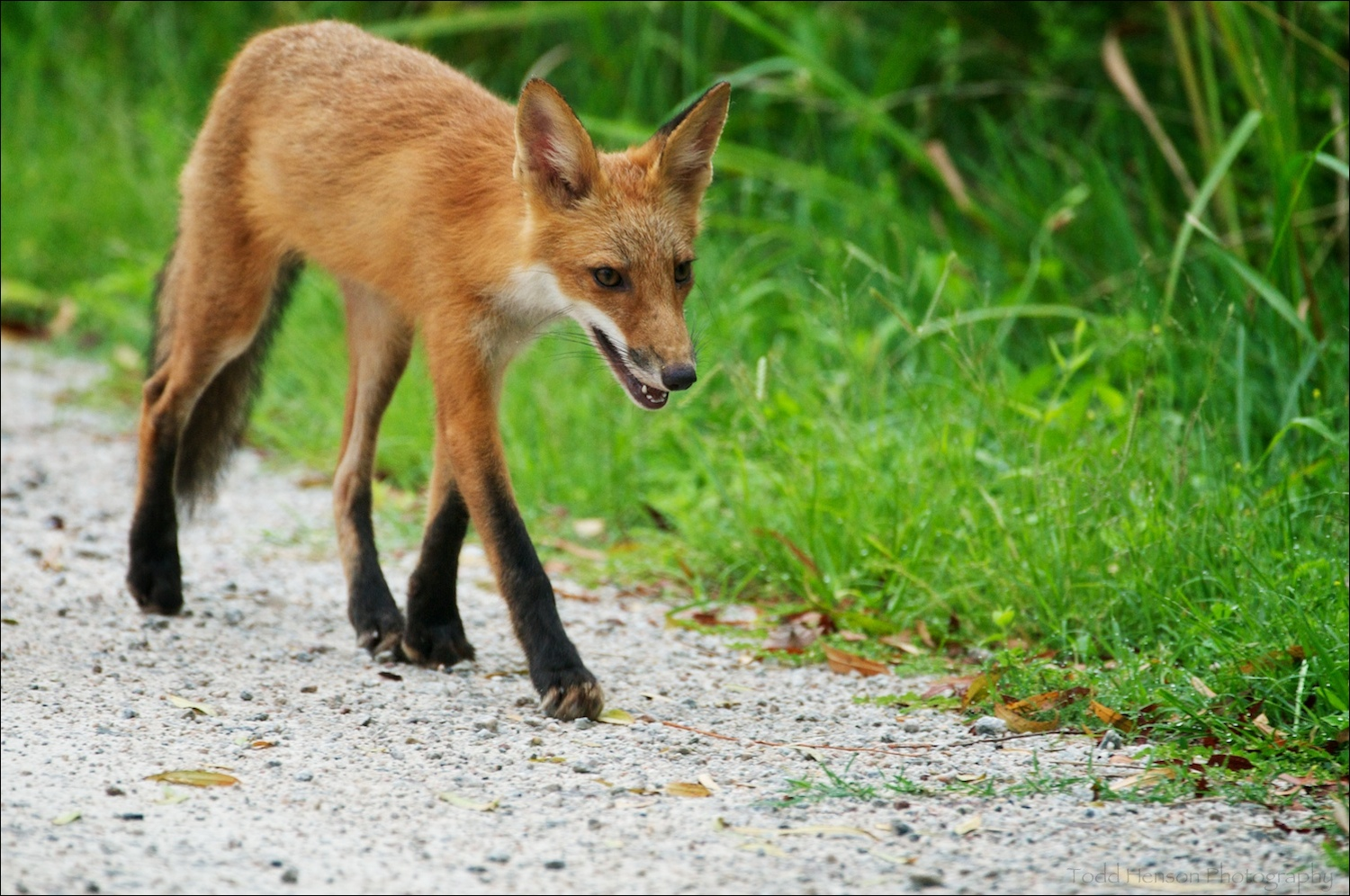 Young red fox walking along trail