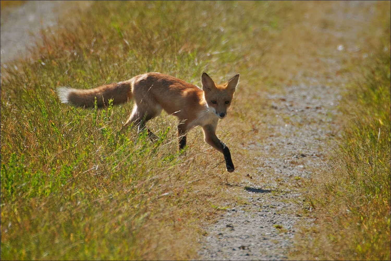 Maturing red fox crossing trail in late morning