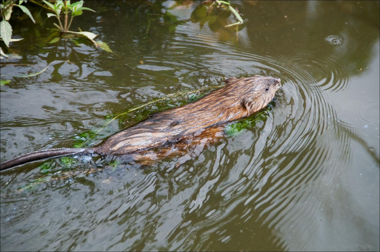 Common Muskrat swimming