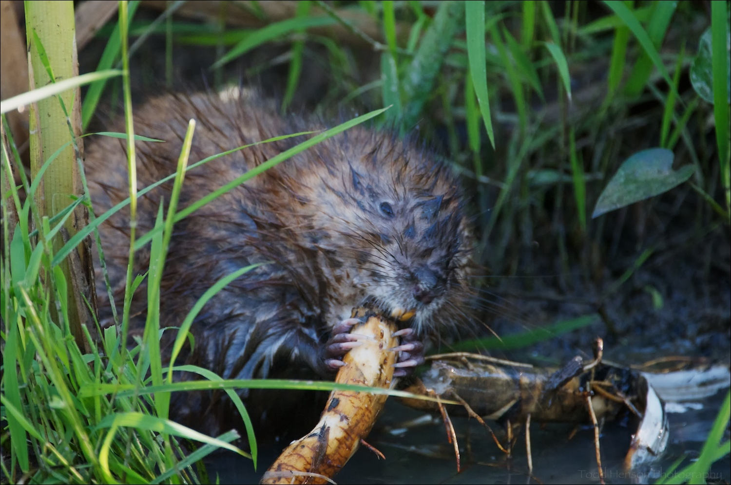 Common Muskrat eating roots. Notice the teeth and claws