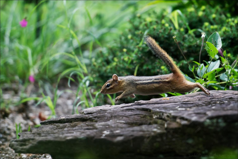 Eastern Chipmunk midair, jumping from rock. Found in nature/garden park.
