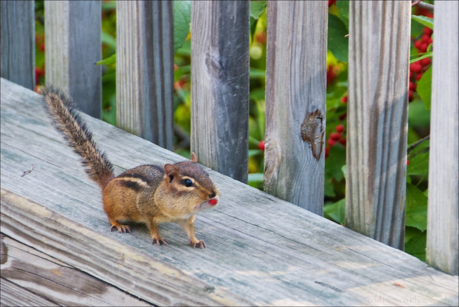 Low quality photo of Eastern Chipmunk, but notice its cheeks are full of the red berries seen in the background. Found in nature/garden park.