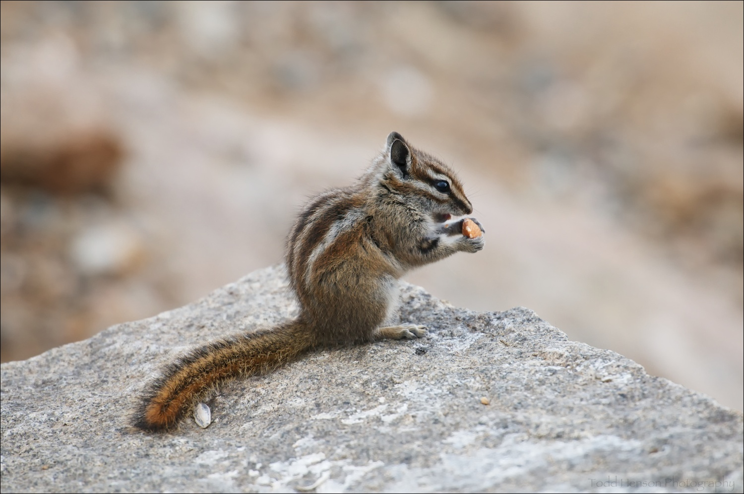 Uinta Chipmunk eating an almond some visitor fed it