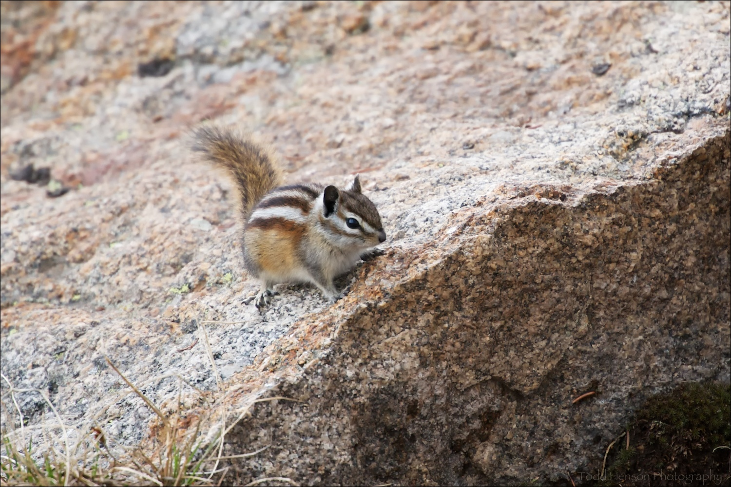 Least Chipmunk standing on edge of rock