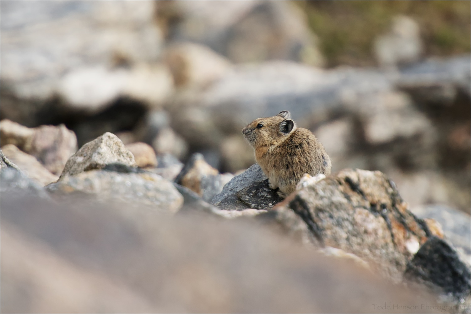 American Pika on rocky slope