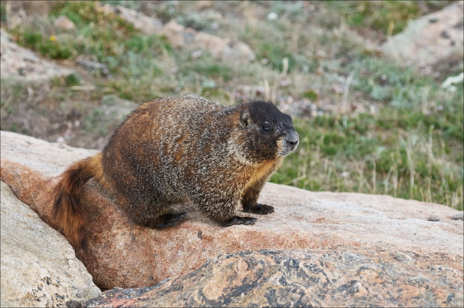 Yellow-bellied Marmot near parking lot. This one kept trying to crawl into the underside of my car.