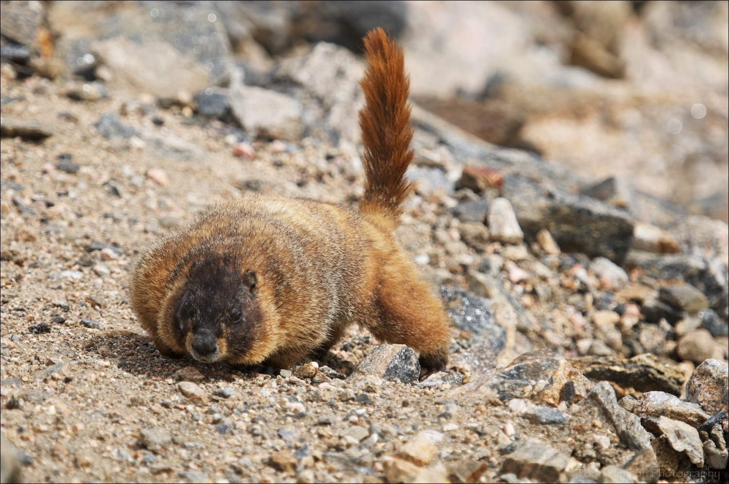 Yellow-bellied Marmot with tail pointing upward