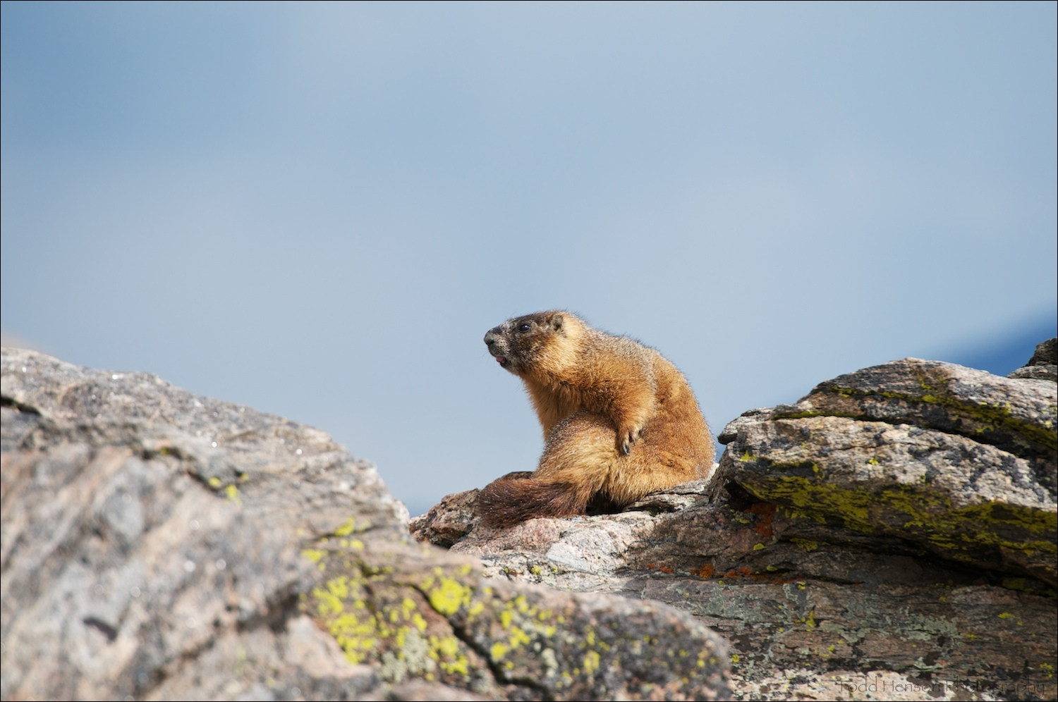 Yellow-bellied Marmot after grooming