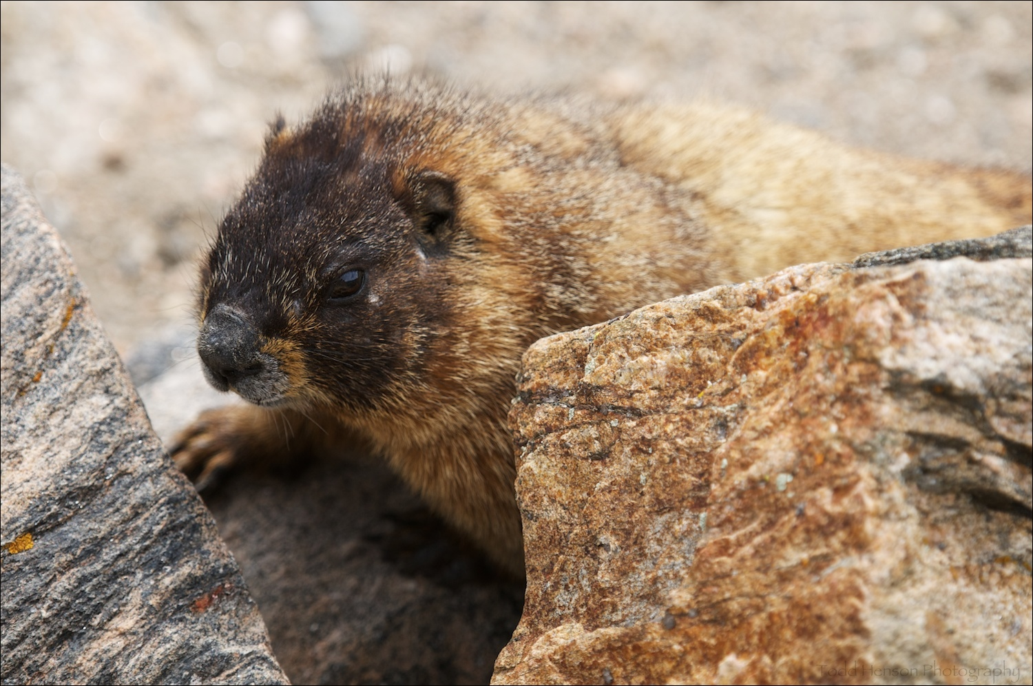 A Yellow-bellied Marmot that crawled right up beside me