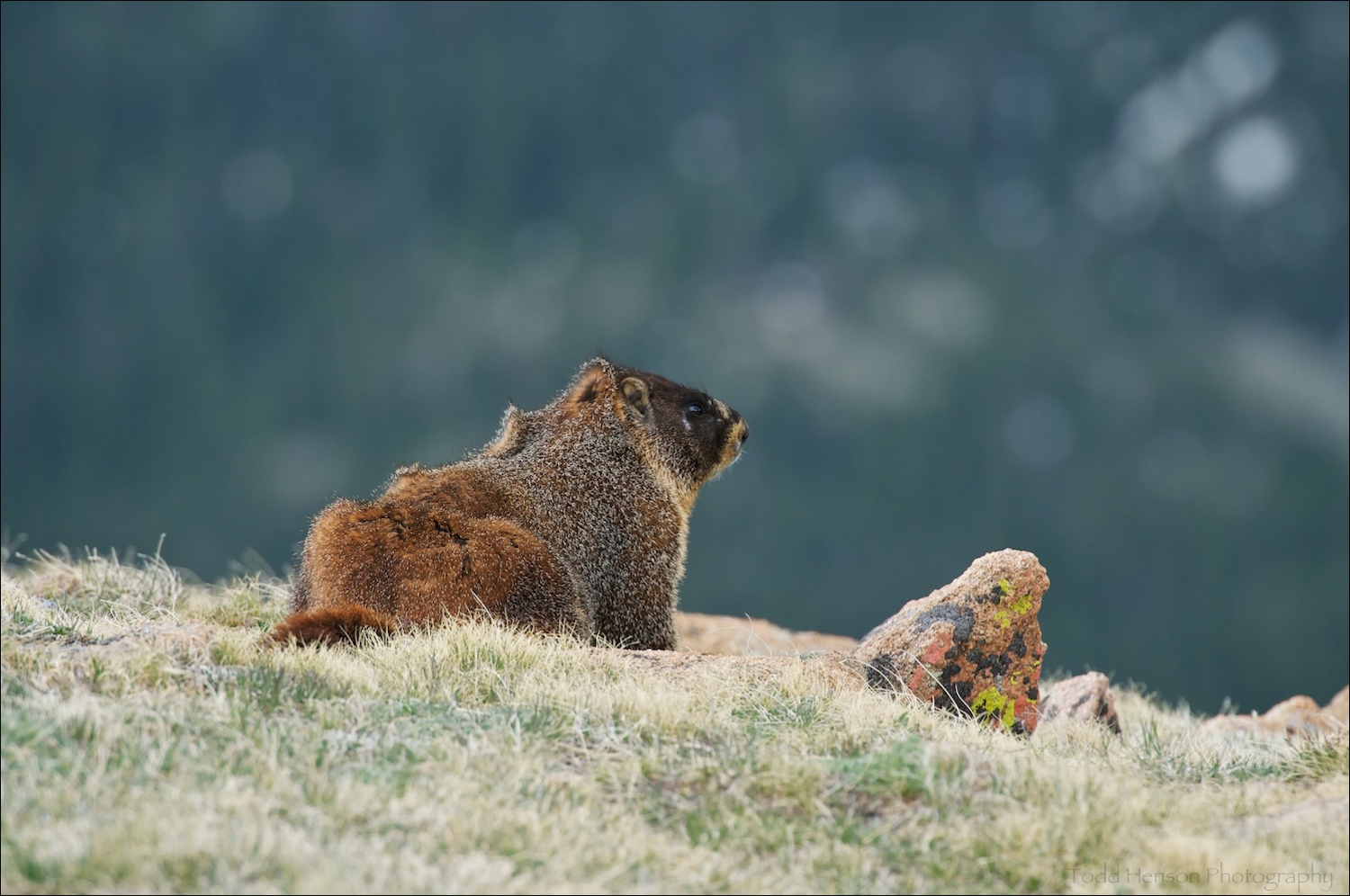 Yellow-bellied Marmot standing in the wind