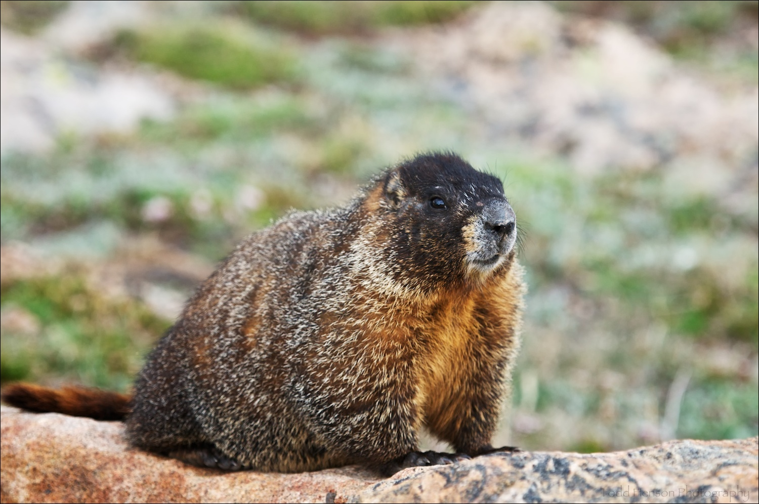 Yellow-bellied Marmot staring me down. Shortly afterwards it tried crawling into the underside of my car