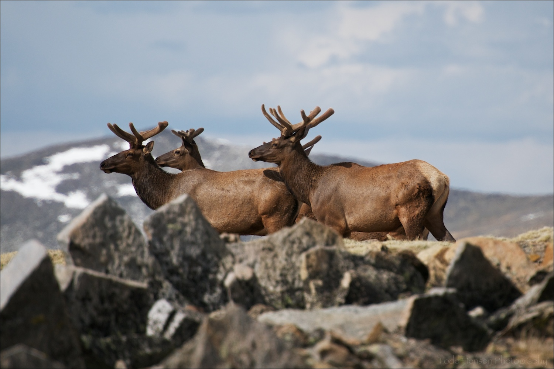 Group of male (bull) Elk