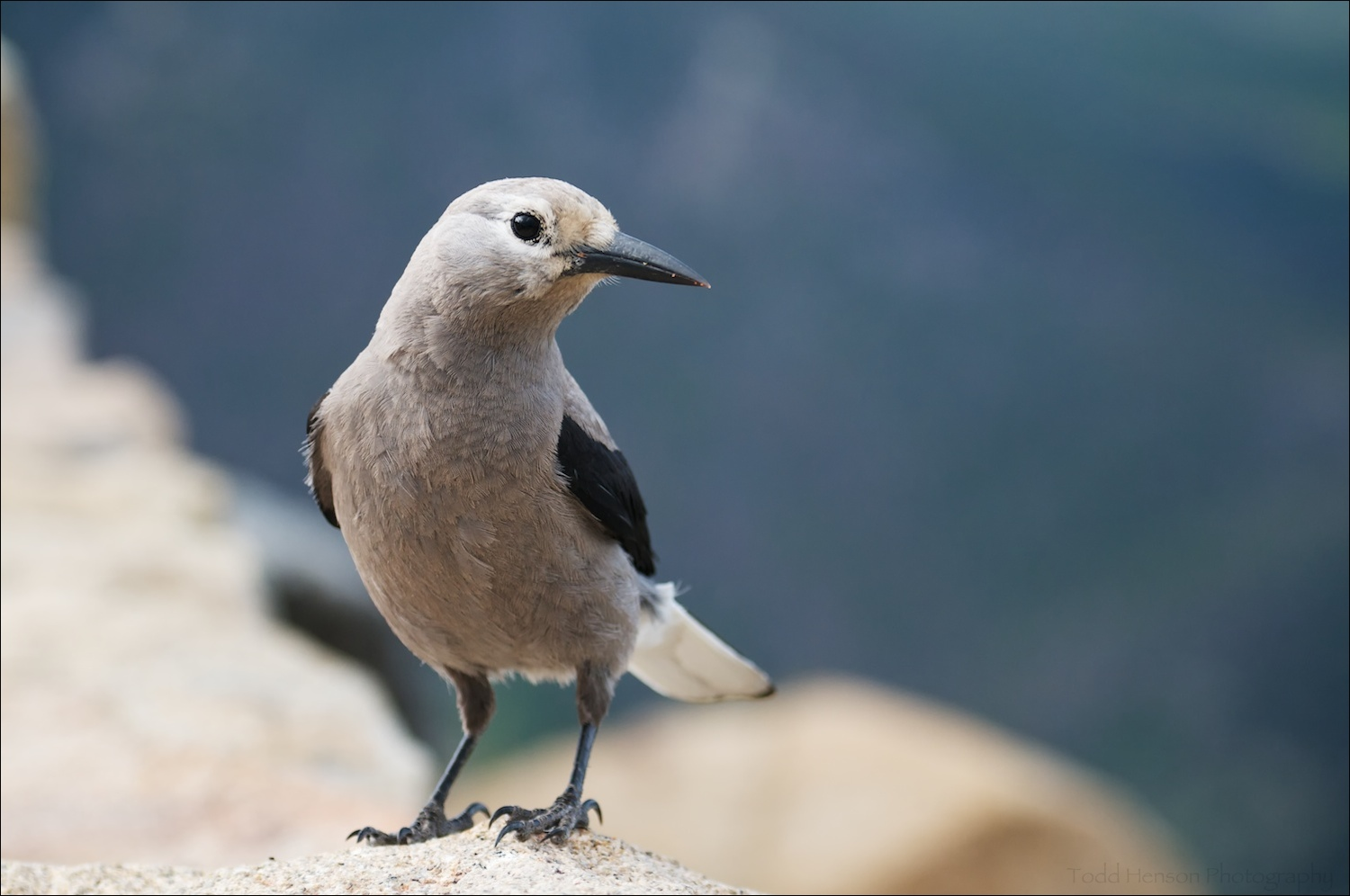Clark's Nutcracker looking to me for food. I didn't give it any.