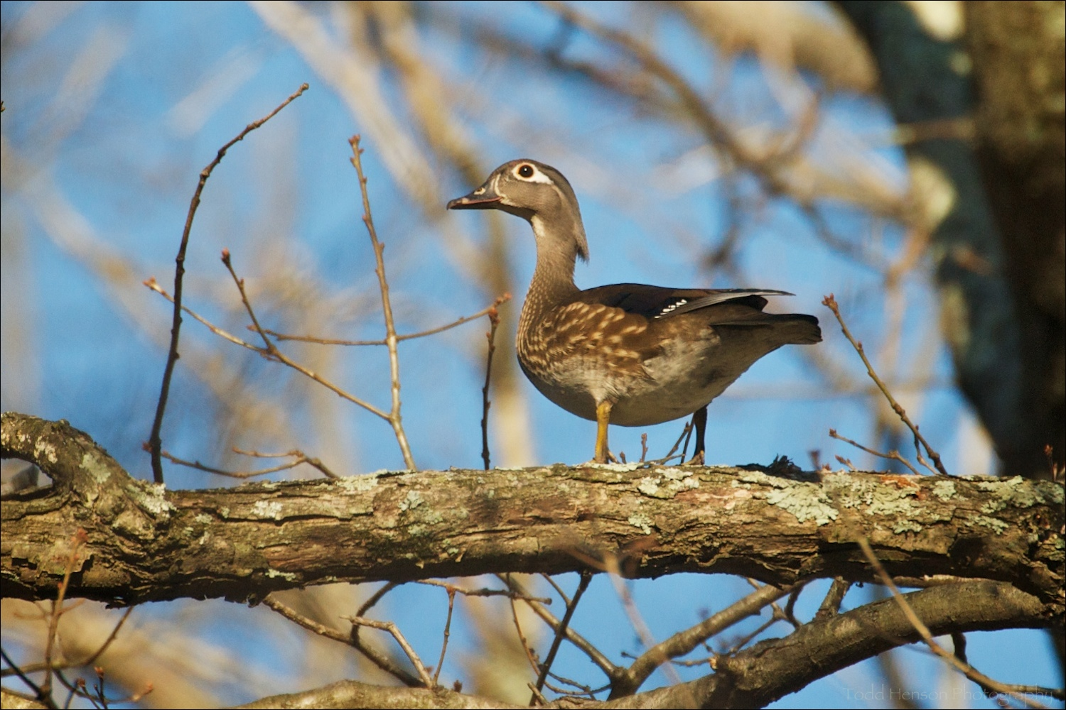 Female Wood Duck watching me from a tree branch.