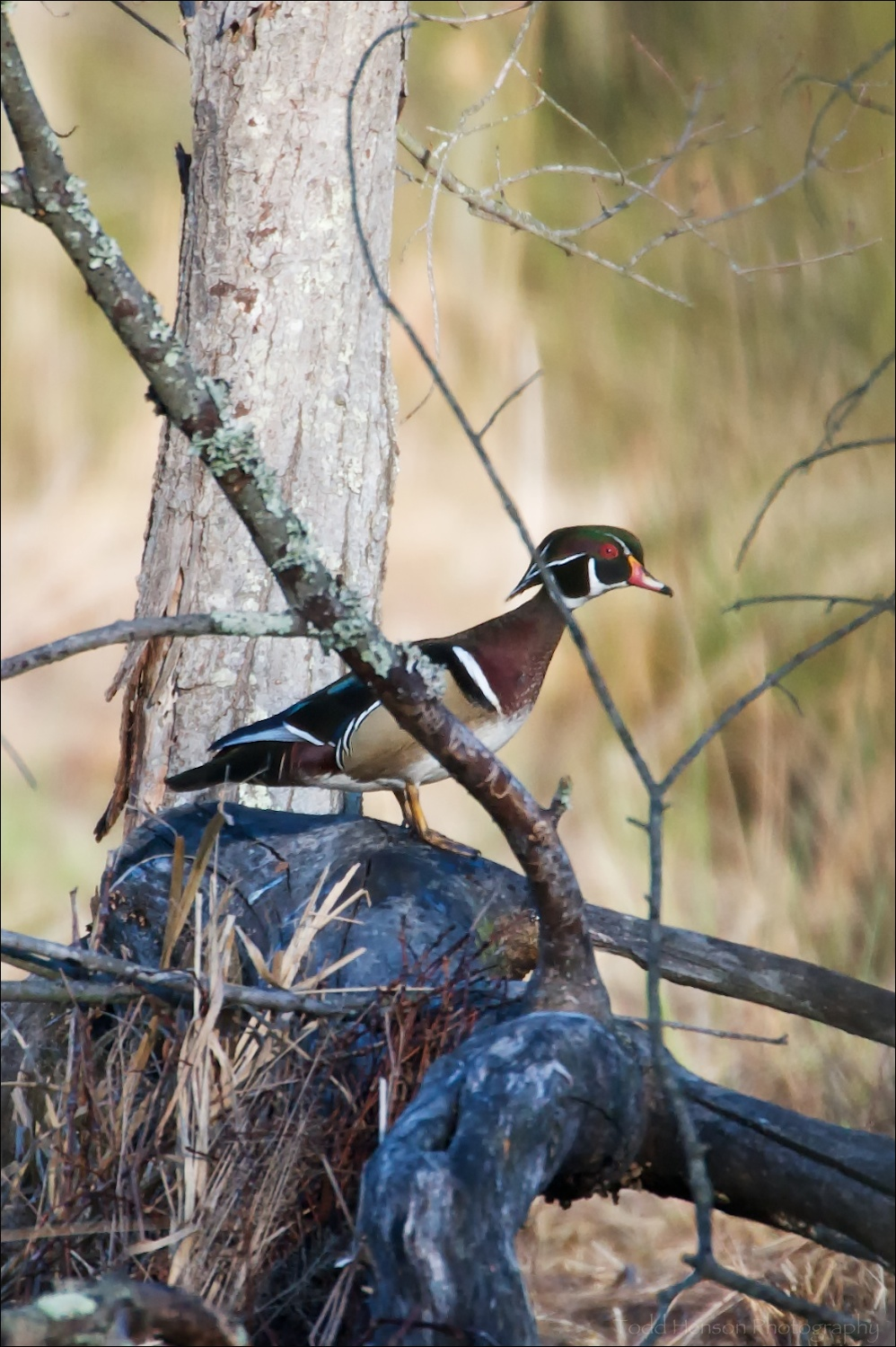 Male Wood Duck near the ground watching me from behind branches.