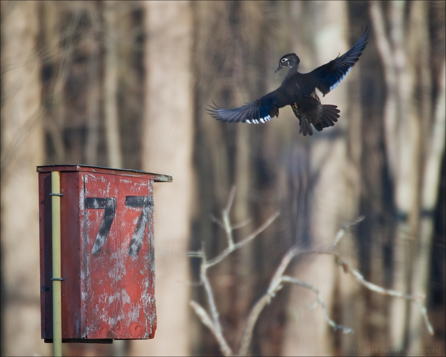 Female Wood Duck flying towards duck house during nesting season. It was amazing watching her fly right into the hole in the box.