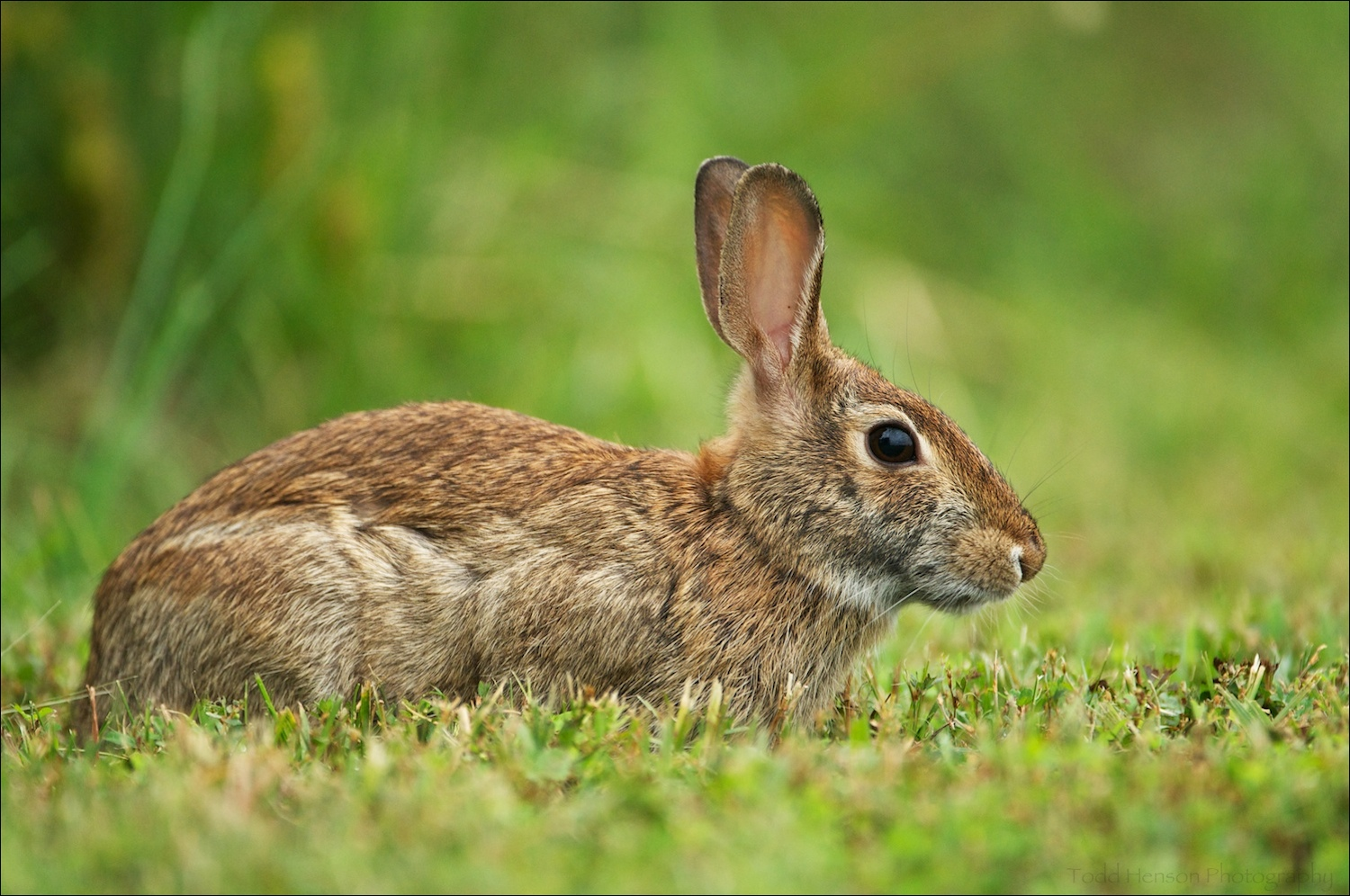 Eastern Cottontail photographed from eye level