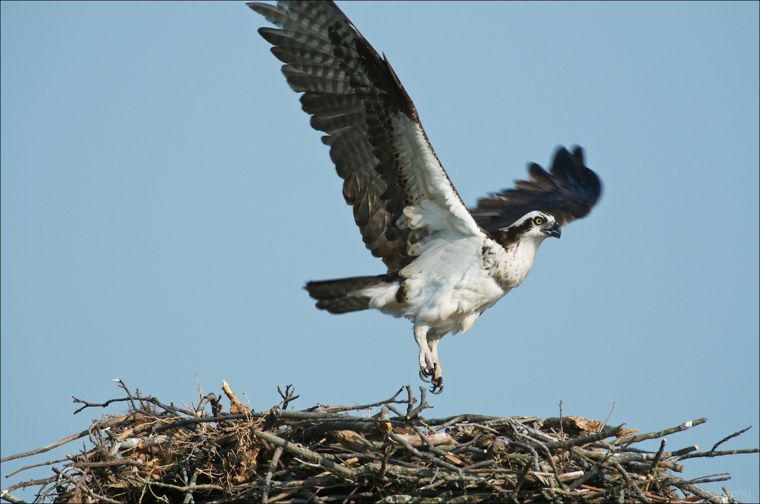 Osprey taking off from nest