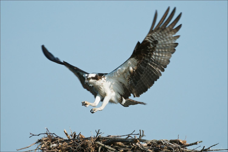 Osprey returning to nest