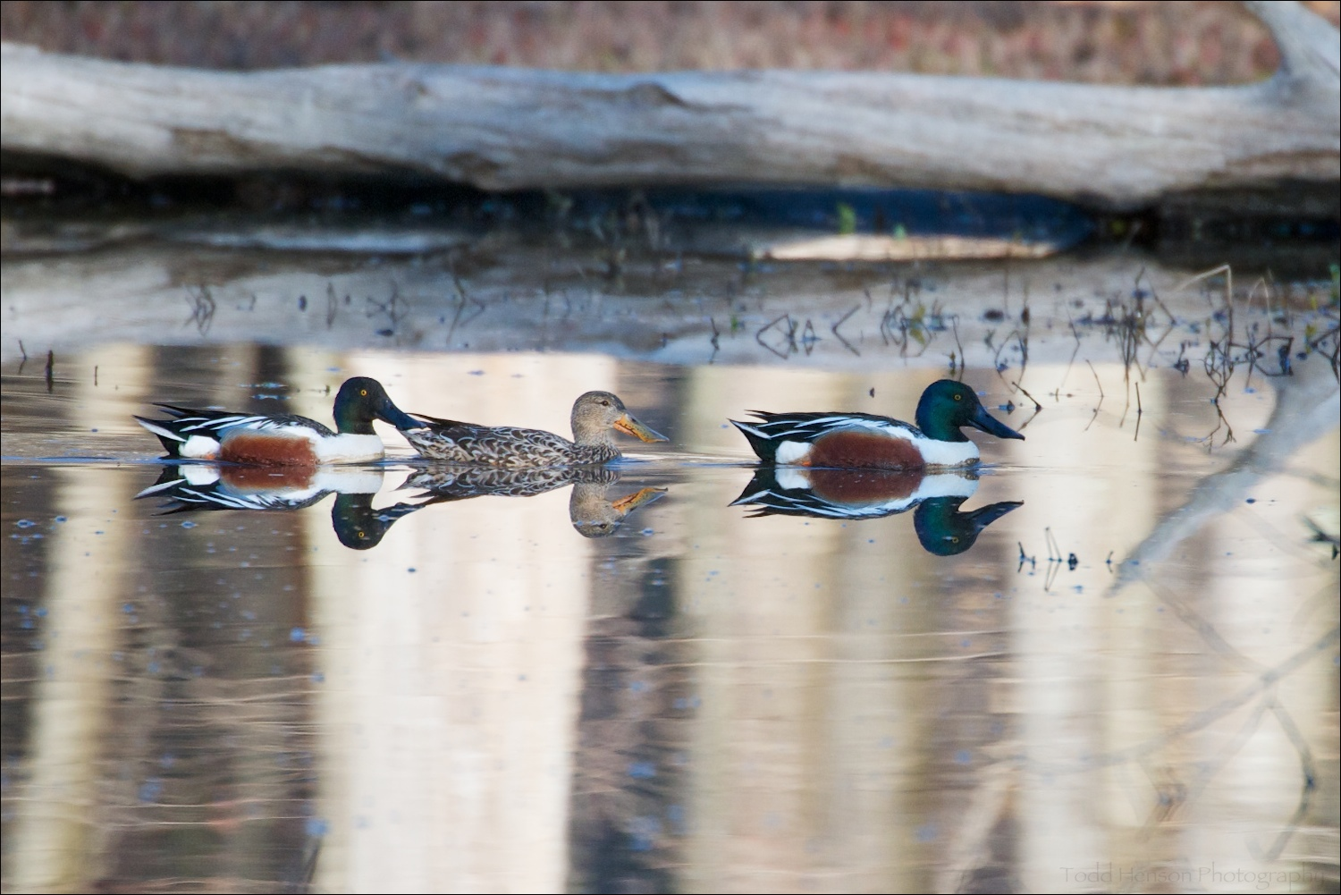 Two male and one female Northern Shoveler swimming in pond