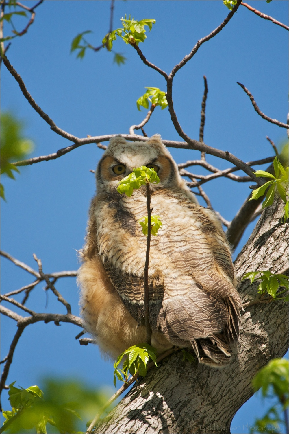 Young Great Horned Owl, recently fledged, obscured by branch. April 11, 2010