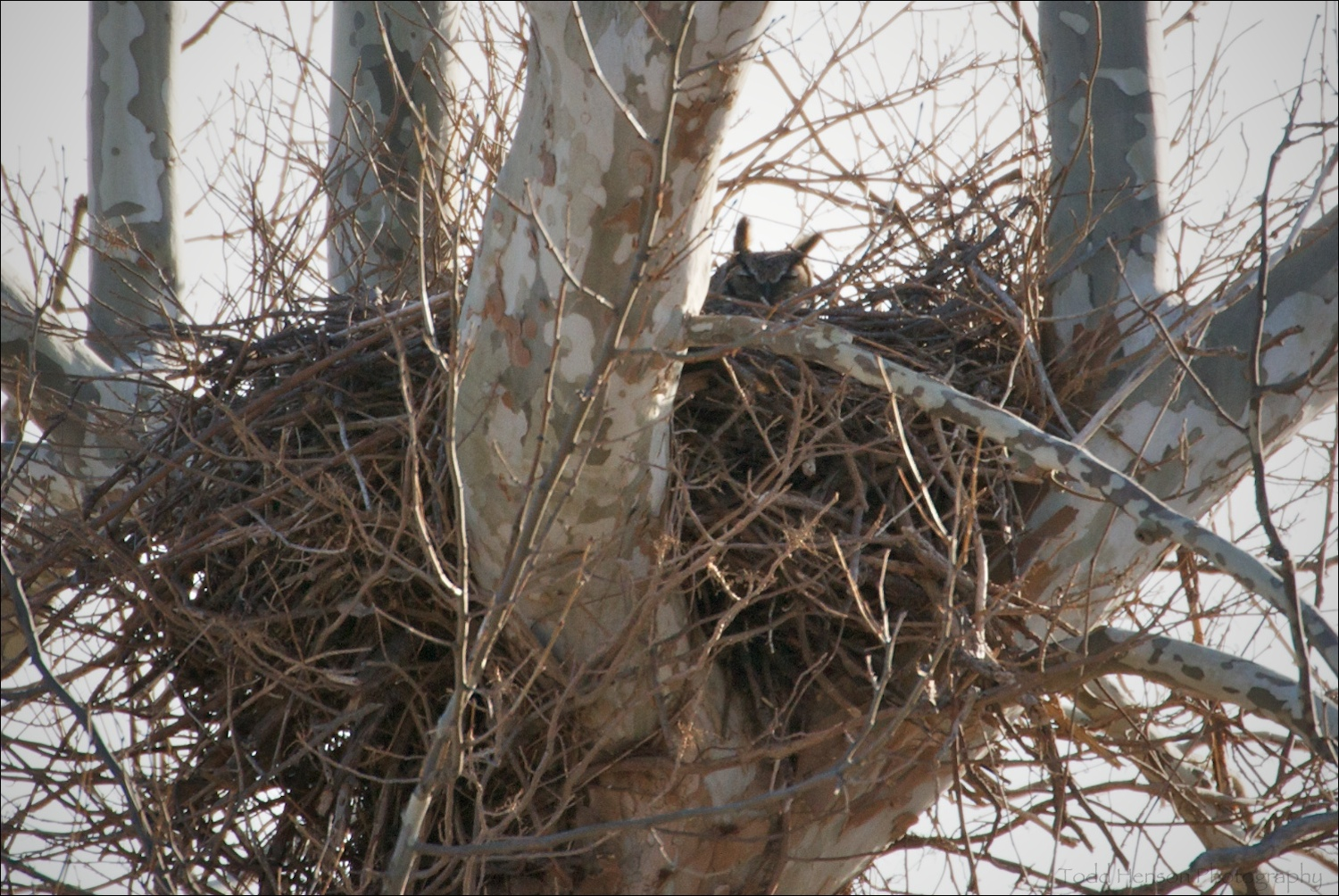 Adult Great Horned Owl in nest. February 27, 2010