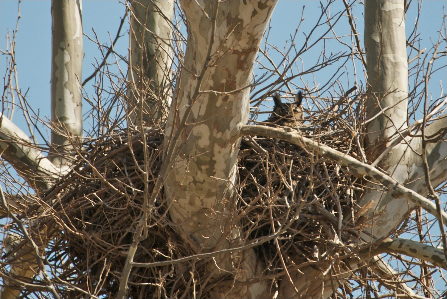 Adult Great Horned Owl in nest. March 20, 2010