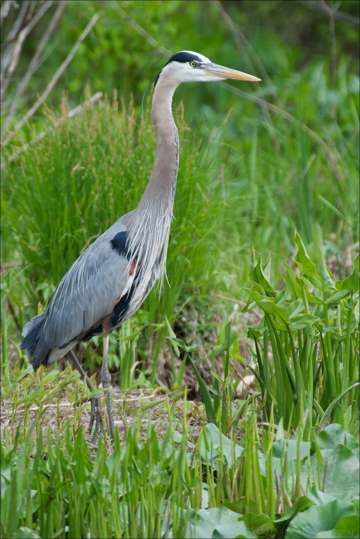 Great Blue Heron in wetlands