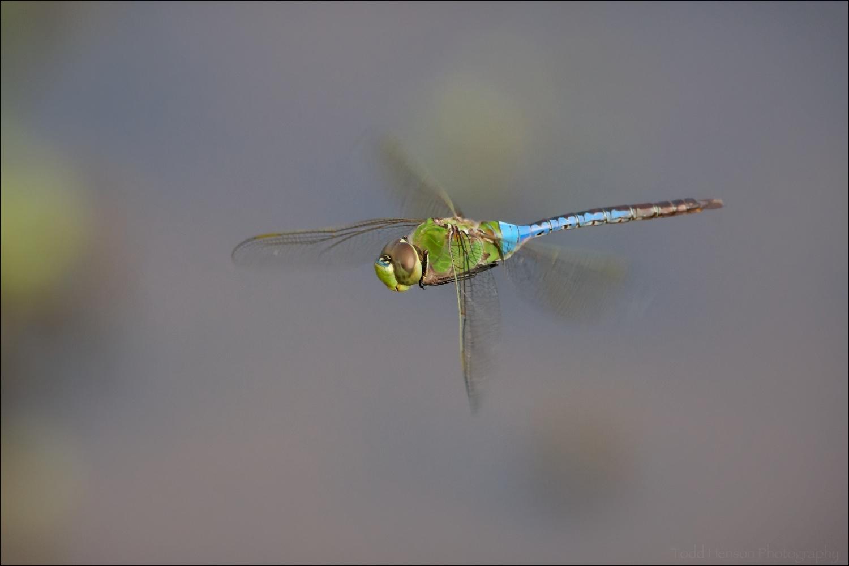 Common Green Darner Dragonfly in flight
