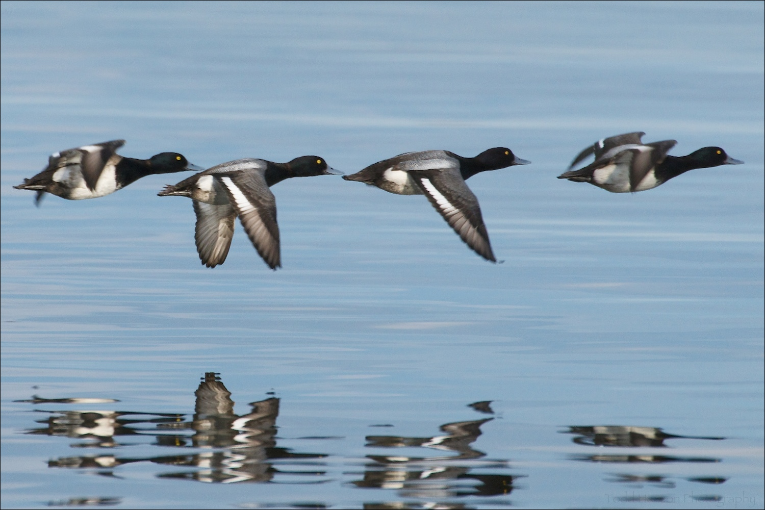Four male Lesser Scaup in flight