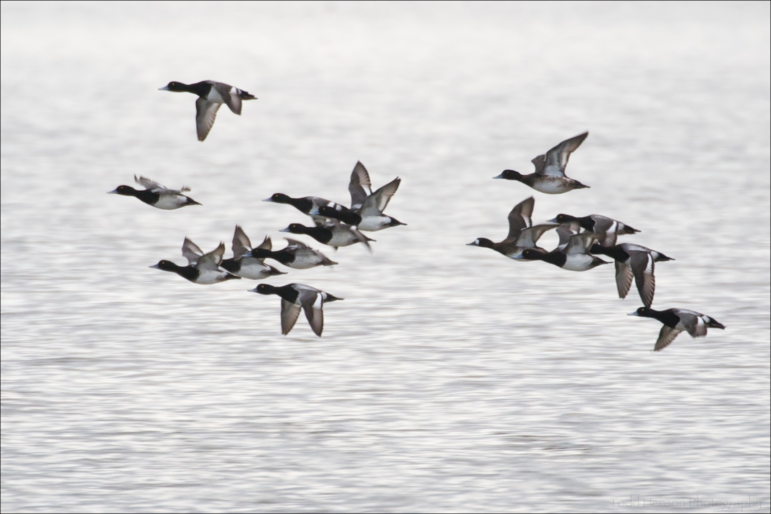 Group of Lesser Scaup in flight. Notice the female at the front of the second group. She has the white patch at the front of her head.