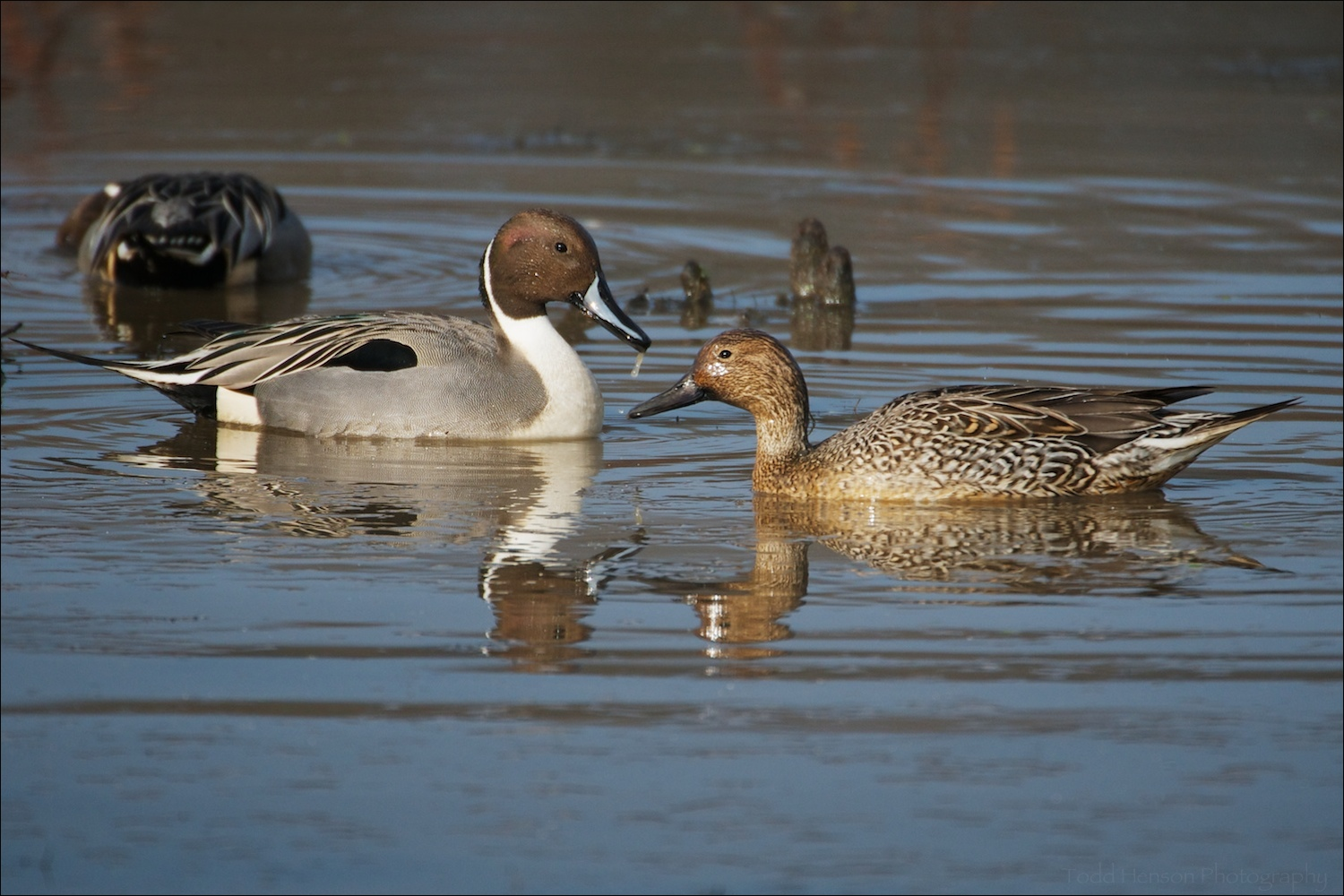 Male and female Northern Pintail in foreground with feeding male in background