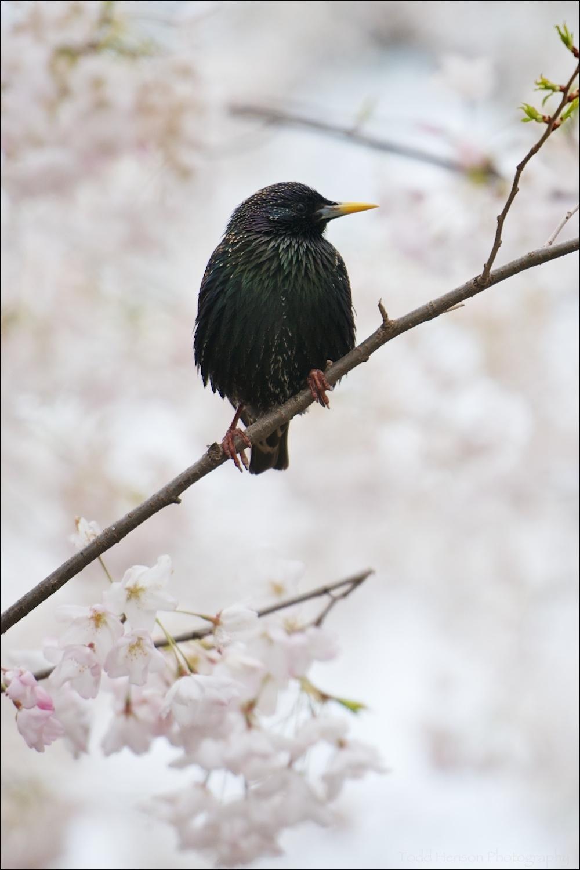 European Starling amongst cherry clossoms