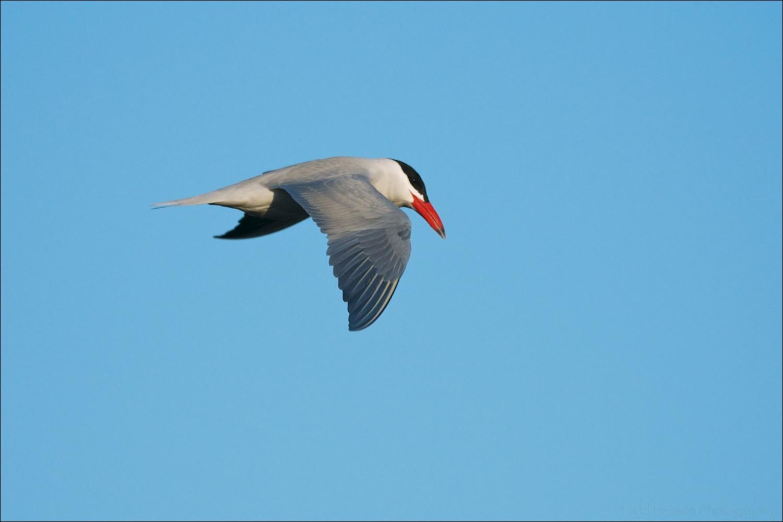 Caspian Tern showing off its reddish bill and gray upper side.