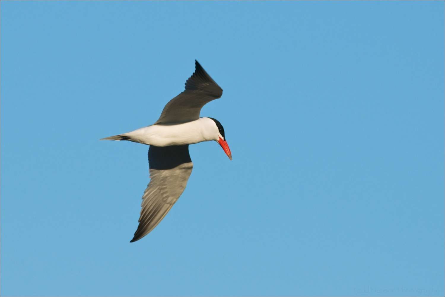 Caspian Tern showing off its white underside and the gray wings that darken to black near the tips.
