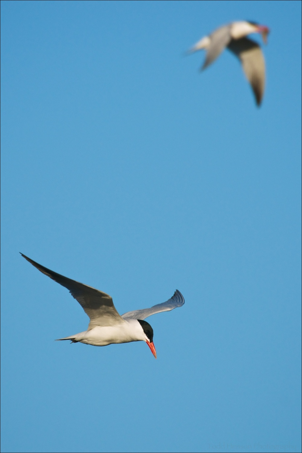 Pair of Caspian Tern in flight. The out of focus Tern in the background is carrying a fish.