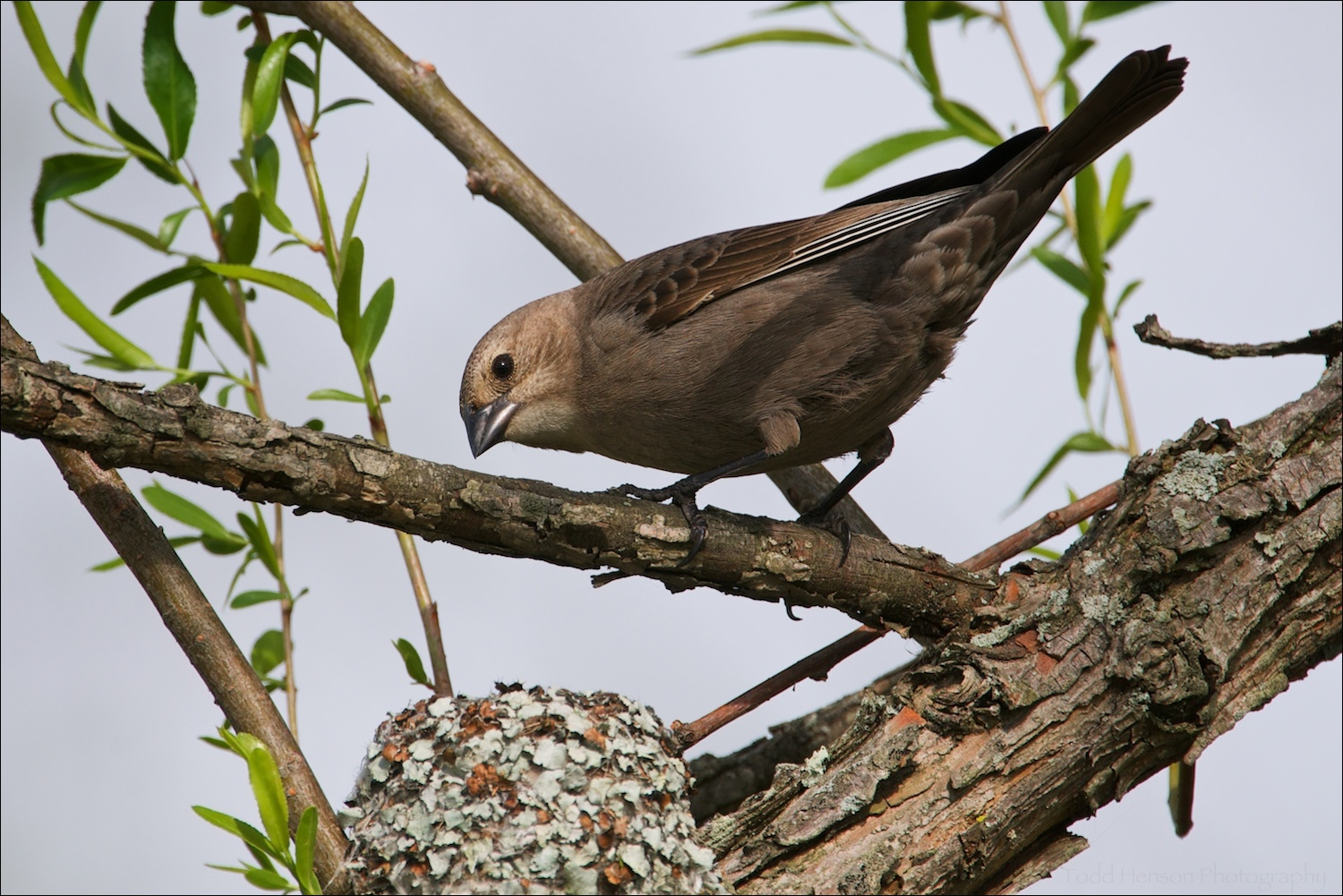 Female Brown-headed Cowbird looking into a Blue-gray Gnatcatcher nest.