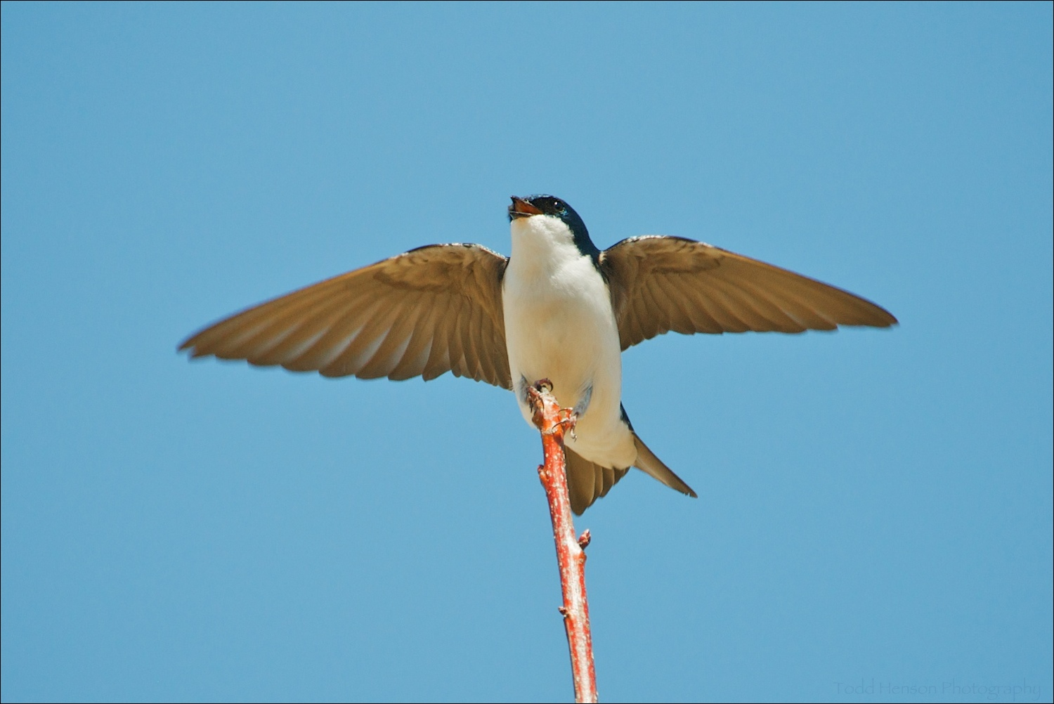 Male Tree Swallow displaying and singing in late March