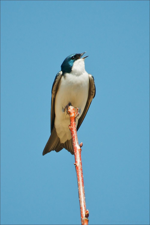 Male Tree Swallow singing