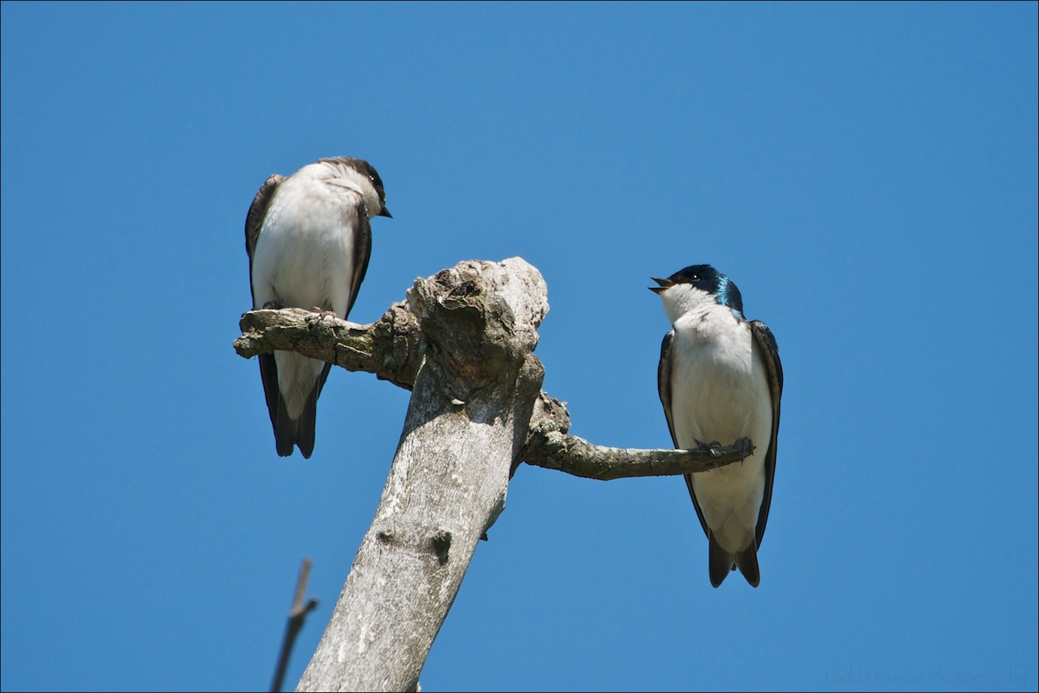 Male (right) and female (left) Tree Swallows