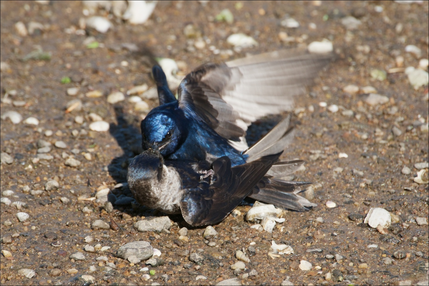 Pair of Purple Martin mating on the sand